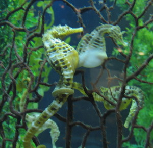 Seahorses from the Auckland aquarium